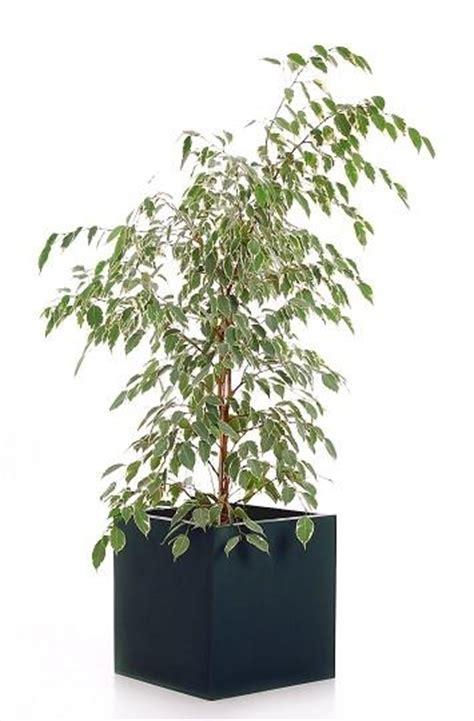 grosse pflanzentöpfe es muss passen die richtigen pflanzk 252 bel f 252 r gro 223 e