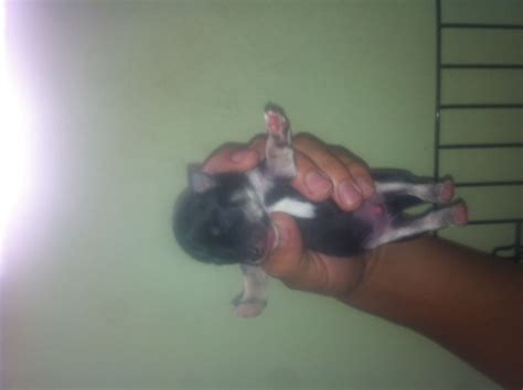chihuahua terrier puppies chihuahua fox terrier puppies at smp breeds picture