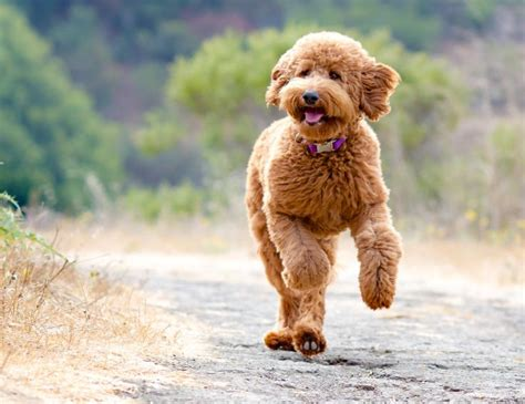 sheep doodle puppy 63 best images about if i had a on f1b goldendoodle poodles and