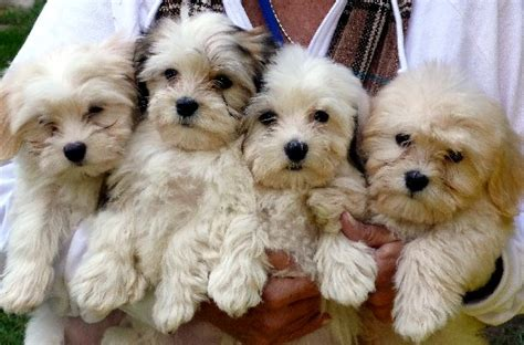 havanese puppies cute puppy pictures cute dogs
