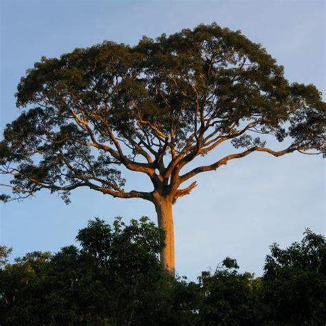species profile: kapok tree (ceiba pentandra) | rainforest