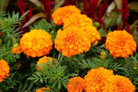 Jual Bibit Bunga Tahi Ayam 4 jenis tanaman yang bisa bikin nyamuk minggat