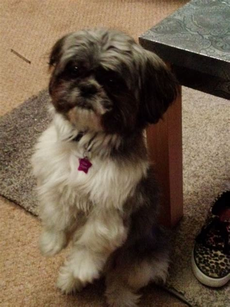 minature shih tzu miniature shih tzu for stud birmingham west midlands pets4homes