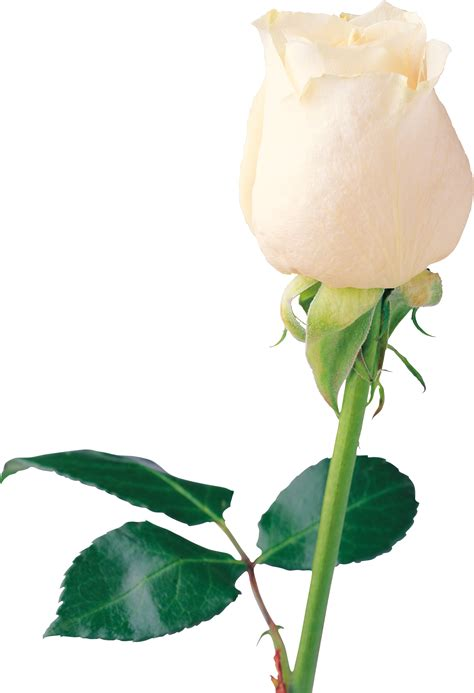 Gamis Roseflowry white roses png images free flower pixtures