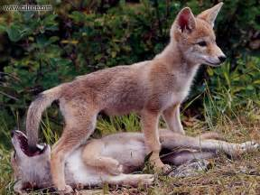 coyote puppy coyote puppies newborn www imgkid the image kid has it