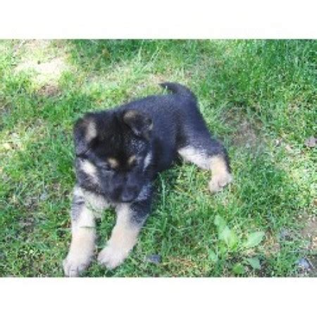 shepinois puppies for sale german shepherd gsd alsatian breeders in south carolina breeds picture