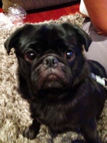 pug nostril surgery pug nasal surgery 28 images romeo the pug gets nose to cure chronic snoring