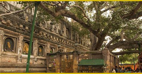 illuminazione buddha alberi e dintorni alberi sacri dell india il bodhi tree