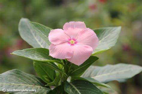 floral pictures vinca flower picture 39