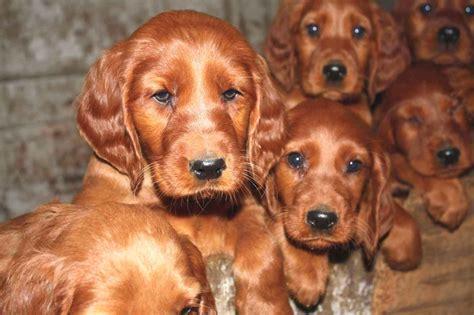 About Dog Irish Setter: Is Your Irish Setter Potty Trained ...