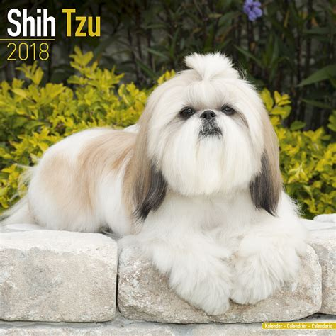 shih tzu as a pet shih tzu calendar 2018 pet prints inc