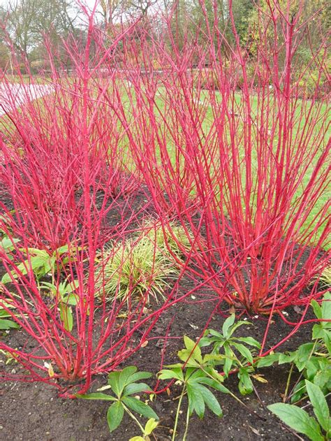 best 25 dogwood shrub ideas on pinterest red twig dogwood dogwood bush and small shrubs for