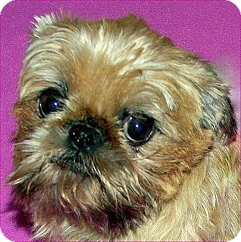 brussels griffon puppies for adoption abby adoption pending adopted burneyville ok brussels griffon