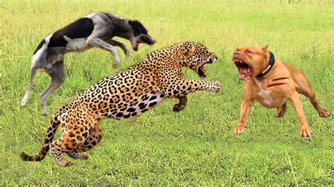 wild animals fight powerful lion  cheetah leopard  monkey dogs tiger  baboon youtube