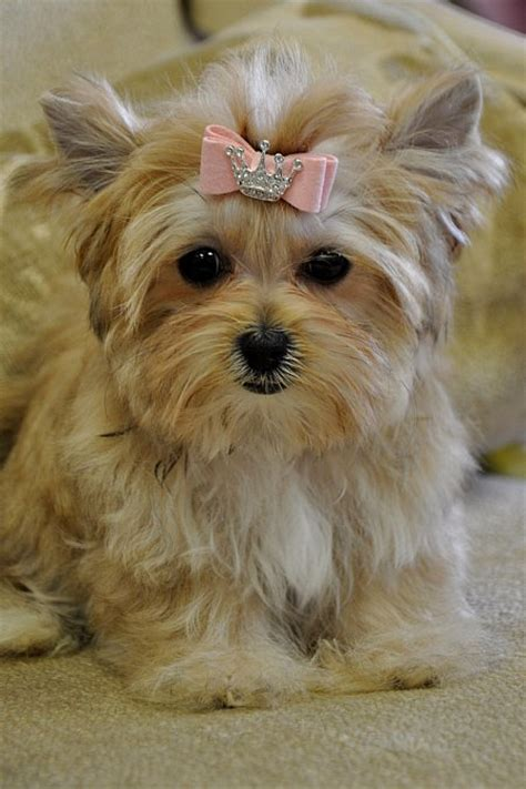 teacup yorkie average weight grown teacup morkie this teacup morkie will be a images frompo