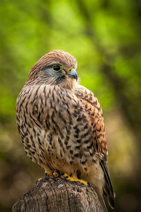 Mad Kestrel 1000 images about kestrels on mauritius