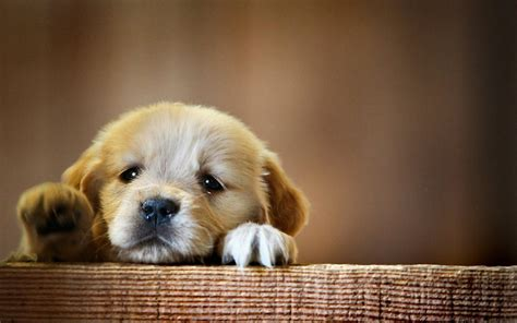 50  Cute Dogs Wallpapers   Dog Puppy Desktop Wallpapers