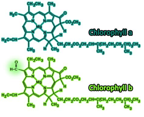 chlorophyll diagram light and photosynthesis notes