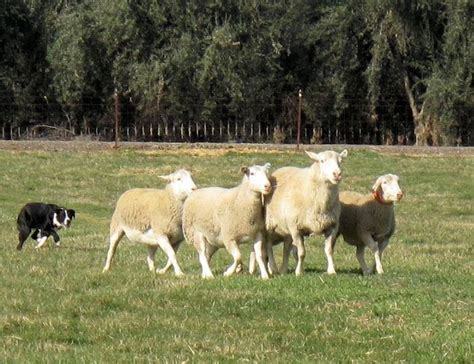 sheep herding dogs sheepdog herding sheep picture breeds picture