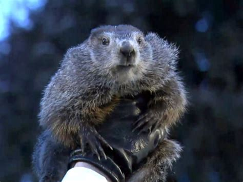 groundhog day how groundhog day 2018 punxsutawney phil sees shadow six