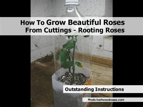 how to grow beautiful roses from cuttings rooting roses