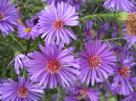 blooming plants aster type of flowering plants type of flowers wallpaper