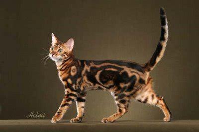 Sho Kucing House Of Anju beautiful grown bengal cat walking