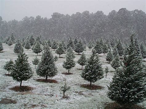 mill hollow christmas tree farms
