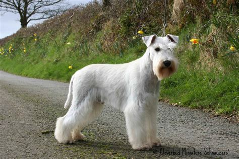 white schnauzer puppy white schnauzer www imgkid the image kid has it