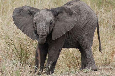 google images elephant baby elephant google search threads pinterest