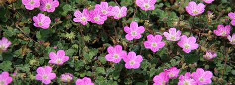 ricanti in vaso piante ricanti ricanti ricanti giardinaggio piante