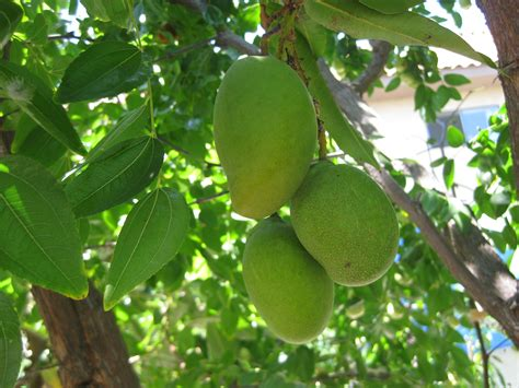 mango tree with fruits there s a potential mango tree in every mango the