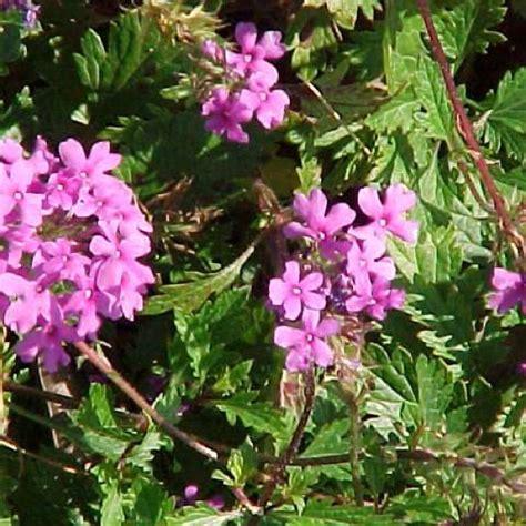 Missouri Botanical Garden Plant Finder by Vervain G Canadensis Friends School Plant Sale