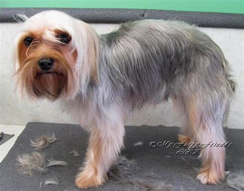 yorkie haircuts for a silky coat yorkies come in so many different sizes and body shapes