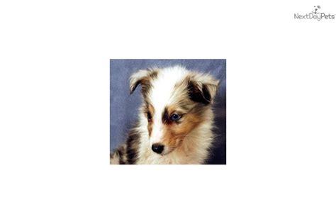 blue merle sheltie puppies for sale meet felix a shetland sheepdog sheltie puppy for sale for 650 blue merle