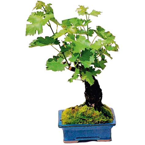 Cabernet Grapevine Bonsai It Or It by Living Grapevine Bonsai With Edible Grapes The Green
