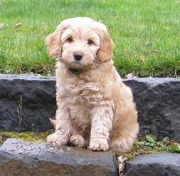 labradoodle info 187 colors sizes