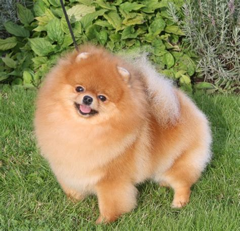pomeranian orange kennel black orange s pomeranian uppf 246