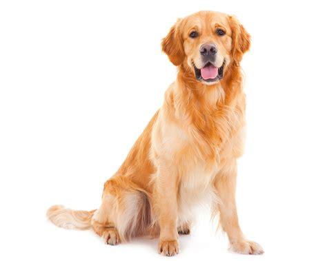 Golden Retriever | Raças de Cães | Cão Nosso - Pet Sitting