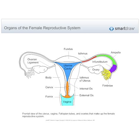 diagram of reproductive system reproductive system diagram