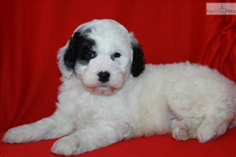 doodle puppies for sale in minnesota goldendoodle puppy for sale near minneapolis st paul