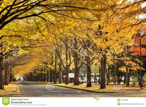 november tokyo beautiful ginkgo along the lenght of the street stock