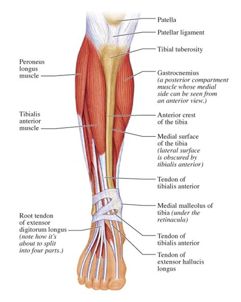 muscles of the diagram leg muscles diagram labeled human anatomy system