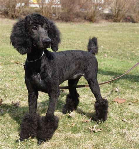 standard poodle puppies for sale in black standard poodle puppies for sale in ohio dogs in our photo