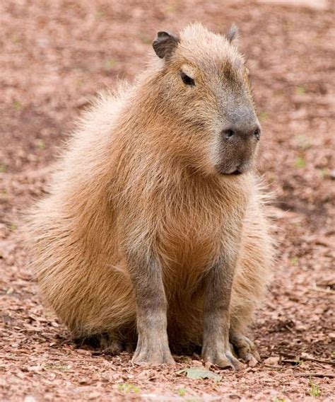 8 Reasons I Animals by Capybara