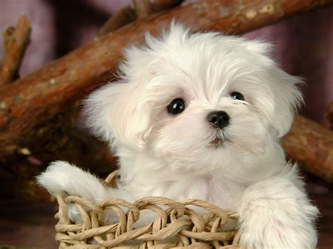 fluffy white puppy white fluffy puppy xcitefun net