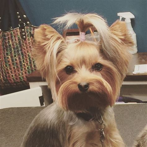yorkie top knot 86 best images about remmi yorki on pet boutique yorkie and