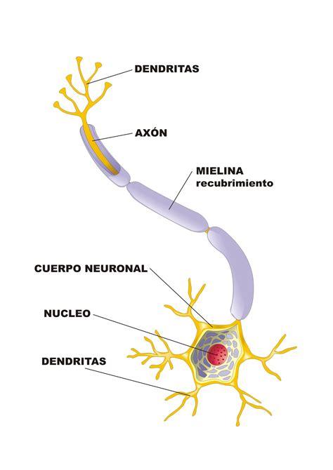 imagenes de neuronas faciles para dibujar neuronas proyecto educere
