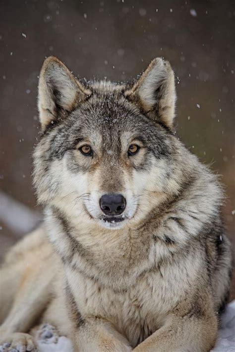 best 25 wolf range ideas on pinterest wolf oven wolf 25 best ideas about wolf photography on pinterest