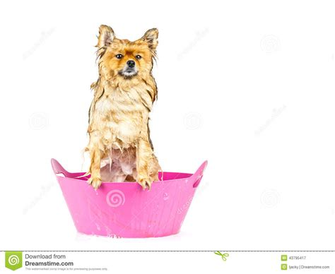 how to bathe a pomeranian puppy pomeranian taking a bath standing in pink bathtub isolated stock photo image